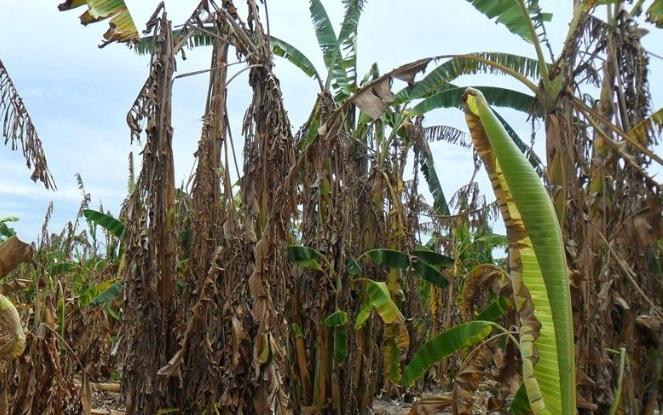 La Sedarpa pagó más de 11 millones de pesos a productores de plátano